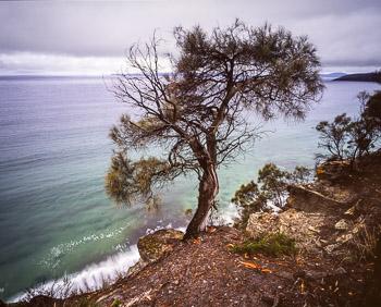 A Black Sheoak (Allocasuarina littoralis) tenaciously clings to the sandstone cliffs overlooking Maria Island