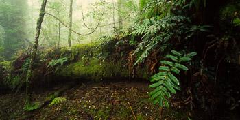 Blue Tier, Eucalypt, Forest, Mist